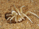 Wheel Spider at the Entrance to its Burrow in a Sand Dune (Carparachne Aureoflava) Namib Desert Photographic Print by Solvin Zankl