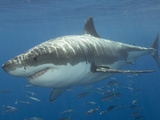 Great White Shark (Carcharodon Carcharias), Pacific Ocean Photographic Print by Andy Murch