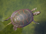 Painted Turtle Swimming in a Pond (Chrysemys Picta), Astern North America Photographic Print by Gustav Verderber