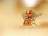 Mating Wild-Type Fruit Flies (Drosophila Melanogaster) in a Lab Culture Photographic Print by Solvin Zankl