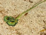 Green Spoonworm (Bonellia Viridis) Mediterranean Sea, San Pietro Island, Sardinia Photographic Print by Solvin Zankl