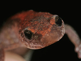 Red-Back Salamander Head (Plethodon Cinereus), Eastern North America Photographic Print by David Wrobel