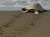 An Olive Ridley Sea Turtle (Lepidochelys Olivacea) Crawling to the Sea, Costa Rica Photographic Print by Solvin Zankl