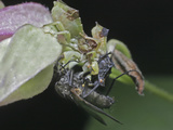 Ambush Bug Pair with Captured Fly Prey (Phymata), Order Hemiptera, Family Phymatidae, Eastern USA Lmina fotogrfica por David Wrobel