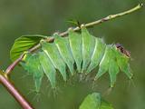 African Luna Moth Caterpillar (Argema Mimosae) Photographic Print by Leroy Simon