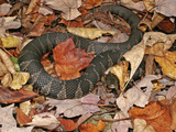 Northern Water Snake (Nerodia Sipedon), Eastern USA Photographic Print by David Wrobel