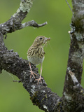 Tree Pipit (Anthus Trivialis) with Insect Prey in its Bill, France Photographic Print by Dave Watts