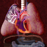 Human Cardiovascular System Illustration Photographic Print by Carol & Mike Werner