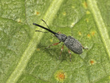 Hollyhock Weevil Female (Apion Longirostre), Family Brentidae, New Hampshire, USA Photographic Print by David Wrobel