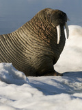 Walrus (Odobenus Rosmarus) Resting on Ice Photographic Print by Louise Murray