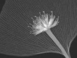 X-Ray of a Dogwood Flower and a Ginkgo Leaf Fotografisk tryk af George Taylor