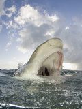 Lemon Shark Head Above Water with Open Mouth Showing its Sharp Teeth (Negaprion Brevirostris) Photographic Print by Andy Murch