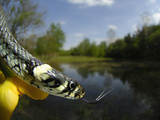The Water Snake with its Tongue Extended (Natrix Natrix), Europe Photographic Print by Solvin Zankl