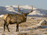Elk (Cervus Elaphus), Yellowstone, Wyoming Photographic Print by Tom Walker