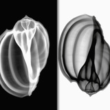 X-Ray of Mollusk Gastropod Shells Photographic Print by George Taylor