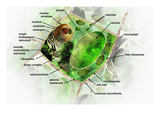 Illustration of a Generalized Plant Cell with Labels Giclee Print by Carol & Mike Werner