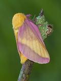 Rosy Maple Moth (Dryocampa Rubicunda) Photographic Print by Leroy Simon