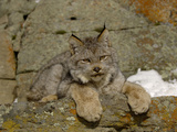 Canadian Lynx (Lynx Canadensis) Sitting on a Snowy Rock, USA Photographic Print by Dave Watts