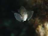Damselfish (Chromis Chromis), San Pietro, Sardinia, Mediterranean Sea Photographic Print by Solvin Zankl