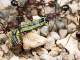 Harvester Ants Dragging a Caterpillar (Aphaenogaster Albisetosa) Photographic Print by Alex Wild