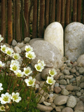 Close Up of Blackberry and Apple Pie Saxifrage Flowers in a Bamboo Fenced Japanese Gravel Garden Photographic Print by Phillip Smith