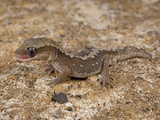 Eastern Stone Gecko (Diplodactylus Vittatus) Licking Eyeball, Wimmera Mallee, Western Victoria Photographic Print by Michael & Sharon Williams