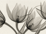 X-Ray of Tulip Flowers Photographic Print by George Taylor