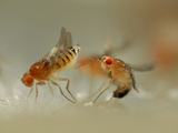 Mating Behavior of Fruit Flies (Drosophila Melanogaster) Showing Female Rejecting a Male Photographic Print by Solvin Zankl