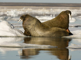 Walruses (Odobenus Rosmarus) Resting on Ice Floe Photographic Print by Louise Murray