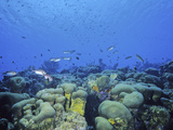 Bonaire Coral Reef with Star Coral (Montastrea), Caribbean Photographic Print by David Wrobel