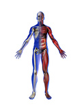 Human Male Figure Showing Skeletal and Musculature Photographic Print by Carol & Mike Werner