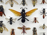 Wasp Collection Photographic Print by Alex Wild