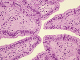 Simple Columnar Epithelium Lining the Human Fallopian Tube or Oviduct, H&E Stain, LM X64 Photographic Print by Gladden Willis