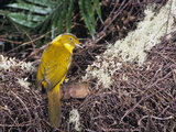 Golden Bowerbird (Prionodura Newtoniana) Male at Bower, Queensland, Australia Photographic Print by Dave Watts