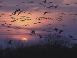Sandhill Cranes Flying to Roost (Grus Canadensis), Platte River, Nebraska, USA Fotodruck von Tom Walker