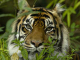 Sumatran Tiger (Panthera Tigris), an Endangered Species, Captive Photographic Print by Dave Watts