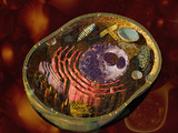 Biomedical Illustration of a Generalized Animal Cell Section Showing its Major Organelles Photographic Print by Carol & Mike Werner