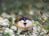 Norway Lemming (Lemmus Lemmus) Sweden Photographic Print by Solvin Zankl