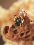 Queen Honey Bee Emerging from its Cell Photographic Print by Eric Tourneret