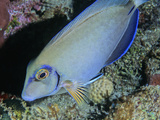 Ocean Surgeonfish (Acanthurus Bahianus), Family Acanthuridae, Caribbean Photographic Print by David Wrobel
