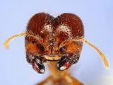 Head of a Fire Ant (Solenopsis Geminata) Showing its Compound Eyes, Antennae, and Mouthparts Photographic Print by Solvin Zankle