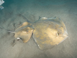 Stingrays (Dasyatis Pastinaca), Los Gigantes, Tenerife, Canary Islands, Atlantic Ocean Photographic Print by Andy Murch