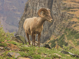 Bighorn Ram, Glacier National Park, Montana, USA Photographic Print by Geoffrey Schmid