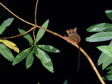 Spectral or Sulawesi Tarsier (Tarsius Spectrum) in the Rainforest of Tangkoko Nature Reserve Photographic Print by Solvin Zankl