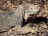 Female Galapagos Land Iguana (Conolophus Subcristatus), Isabela Island, Galapagos Photographic Print by Richard Roscoe