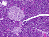 Pancreas Exocrine and Endocrine Tissue Section with Islets of Langerhans, H&E Stain, LM X25 Photographic Print by Alvin Telser