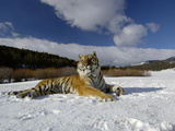 Siberian Tiger (Panthera Tigris Altaica) Resting in Snow, Captive Photographic Print by Dave Watts