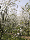 Beekeepers Placing Honey Bee Hives Among Almond Trees in an Orchard Photographic Print by Eric Tourneret