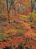 Maples at Peak Color in the Bukhaensan Forest Near Seoul, South Korea Photographic Print by Geoffrey Schmid
