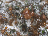 Leafcutter Ant Queen and Workers (Atta Cephalotes) in the Nest Fungus Garden Photographic Print by Alex Wild
